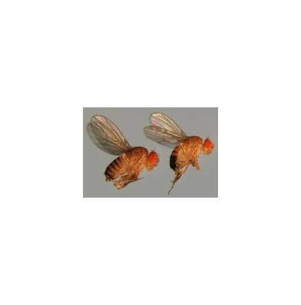 Bananflugor stora