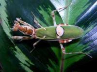 Creobroter gemmanus