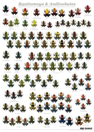 Morphs de Ranitomeya 1508-4-pilgiftplanschhel