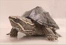 Mysksköldpadda
