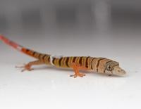 Sphaerodactylus elegans