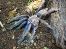 "Chilobrachys sp. ""Blue"" (South Vietnam)"