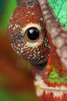 Panterkameleont hanar