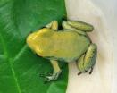Phyllobates terribilis (Mint)
