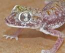 Stenodactylus stenodactylus