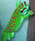 Stor Daggecko High red hona