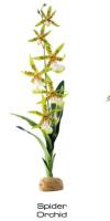 Spider Orchide
