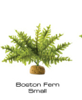 Boston Fern small