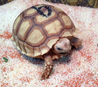 Sporrsköldpadda