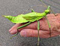 Heteropteryx diatata