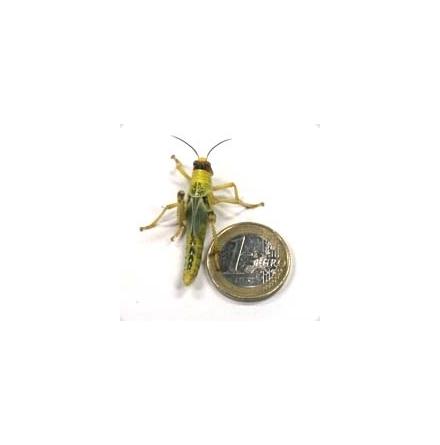 Vandringsgräshoppa små