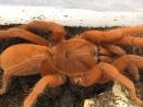 Selenobrachys philippinus