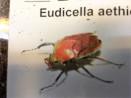 Eudicella aethiopica