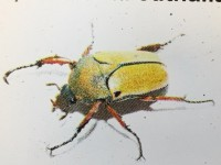 Eudicella euthalia collinsi