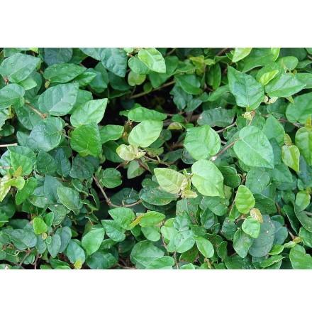 Ficus pumila grön