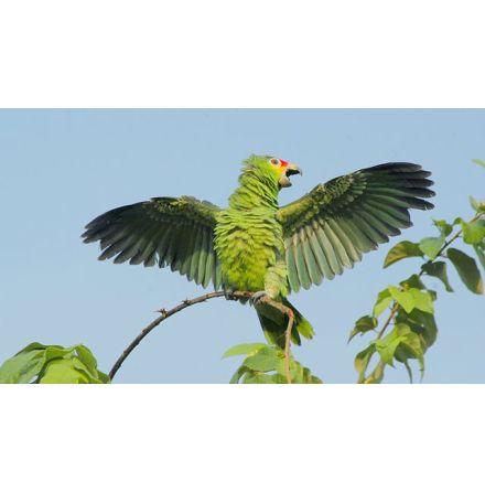 Gulkindad Amazon Papegoja