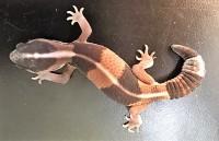 Tjocksvansgecko undjur