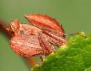 Lila Boxar Mantis