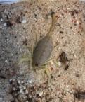 Buthacus leptochelys