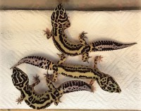 Leopardgecko 1