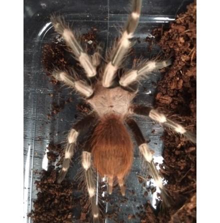 Nhandu chromatus