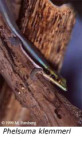 Blågul daggecko