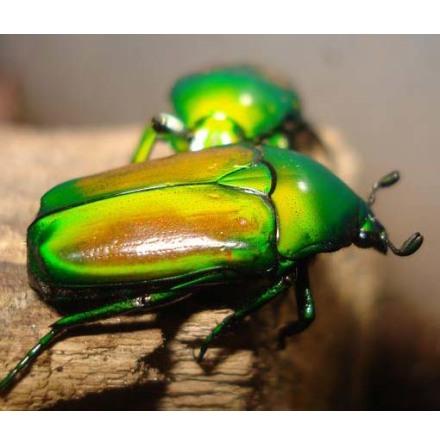 Smaragdestes africana oertzeni