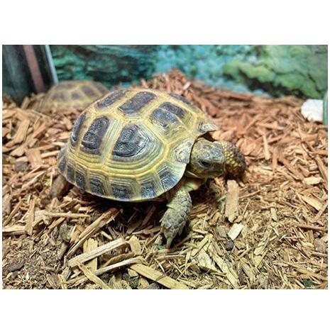 Rysk Stäppsköldpadda