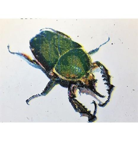 Mecynorrhina torquata immaculicollis