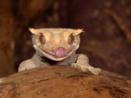 Ögonfransgecko